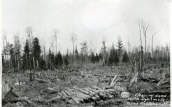 Bemidji Pine Forest circa 1890